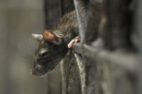 Les-rats-envahissent-Paris.jpg